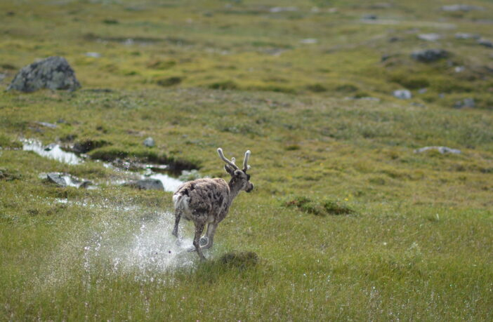 Reindeer Wet Grass