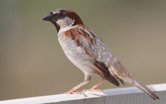 sparrow on perch
